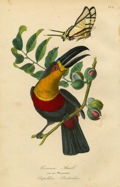 A toucan in a nutmeg tree with a butterfly by Le Maout - Engraving - 19th c.