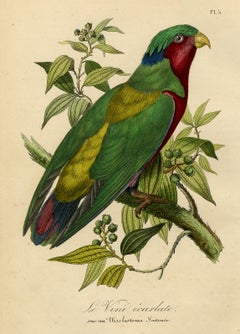 Antique print of a parrot - Le Vini ecarlate by Le Maout - Engraving - 19th c.