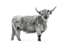 Highland Cattle II