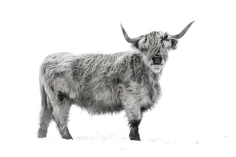 Guadalupe Laiz Black and White Photograph - Highland Cattle II