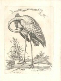 Gran Grue Della Baia d'Hudson - Original Etching by Andrea Scacciati The Younger