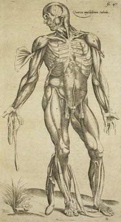 The Muscles -  De Humani Corporis Fabrica - by Andrea Vesalio - 1642