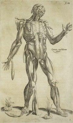 The Human Muscles - De Humani Corporis Fabrica - by Andrea Vesalio - 1642