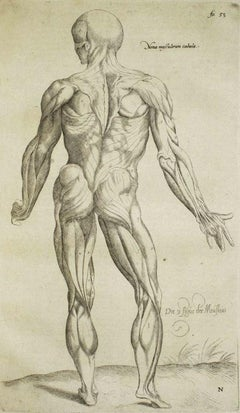 """Human Muscles -  from """"De Humani Corporis Fabrica"""" - 1642"""