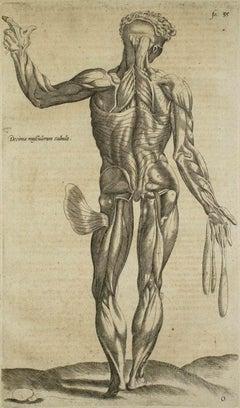 The Posterior Muscles -  De Humani Corporis Fabrica - by A. Vesalio - 1642