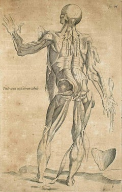 """The Legaments and Muscles - from """"De Humani Corporis Fabrica"""" - 1642"""