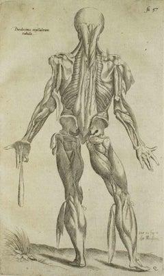 Human Back Muscles - De Humani Corporis Fabrica - by A. Vesalio - 1642