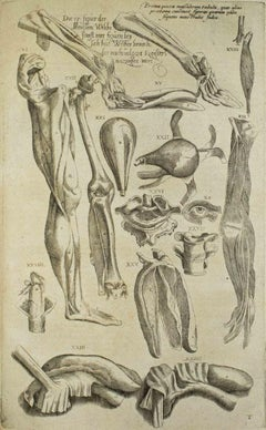 Anatomical Studies -  De Humani Corporis Fabrica - by A. Vesalio - 1642