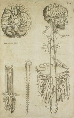 The Nervous System -  De Humani Corporis Fabrica - by A. Vesalio - 1642