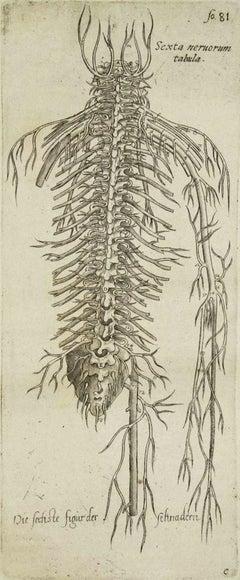 "The Circulatory System - From ""De Humani Corporis Fabrica""  - 1642"