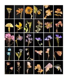 Dandelion - Botanical Color Photography Prints