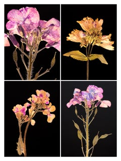 Honesty IV - Botanical Color Photography Prints