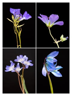 Lobelia IV - Botanical Color Photography Prints