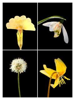 Primula IV - Botanical Color Photography Prints