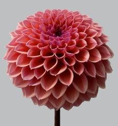 Dahlia #11 - pink flowers, interior design, contemporary art, dahlias