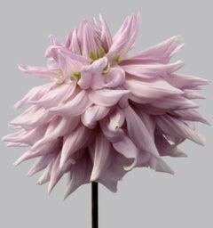 Dahlia #9 - pink flowers, dahlias, lilac, lavender, contemporary art