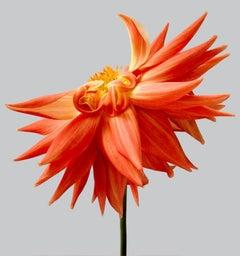 Dahlia #14 - contemporary photography, flowers, interior design, orange flowers