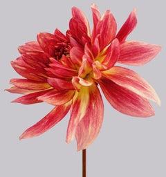 Dahlia #7 - pink flowers, dahlias, orange, contemporary art, still life