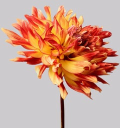 Dahlia #6 - flowers, dahlias, orange, contemporary art, still life, botanical