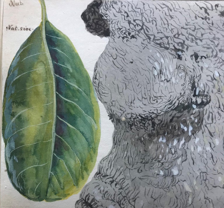 This 19th century botanical study in watercolor depicts the green leaves of the Chicharron plant (which is native to Cuba), next to the trunk of a tree in the area of Colón. Brownell has captured the plant's forms and elegance, even noting at the