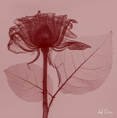 Red Rose -contemporary red and pink rose inkjet print on paper