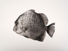 Scatophagus Argus, Platinum Iridium Print, Photography, Contemporary