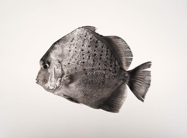 Jan C. Schlegel Still-Life Photograph - Scatophagus Argus, Platinum Iridium Print, Photography, Contemporary