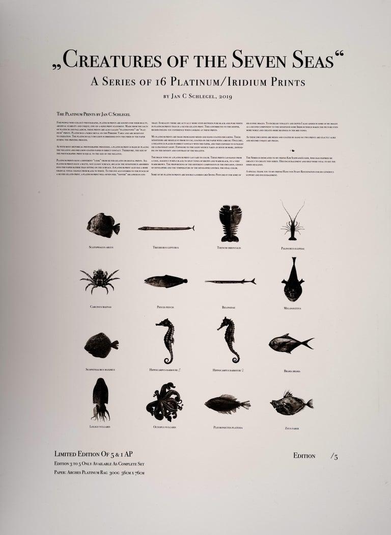 Palinurus Elephas, Platinum Iridium Print, Photography, Contemporary 3