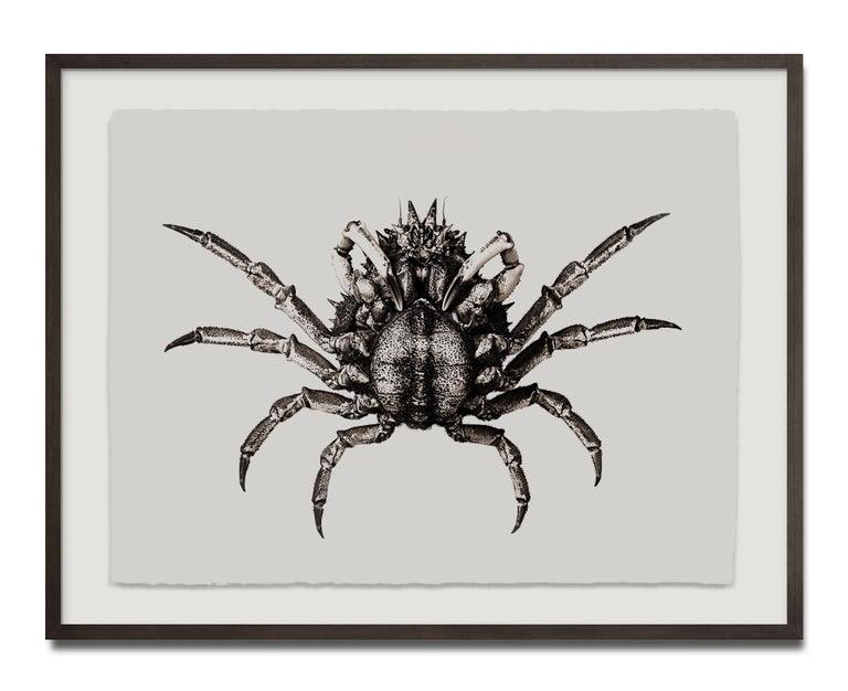 Carcinus Maenas, Platinum Iridium Print, Photography, Contemporary - Beige Still-Life Photograph by Jan C. Schlegel