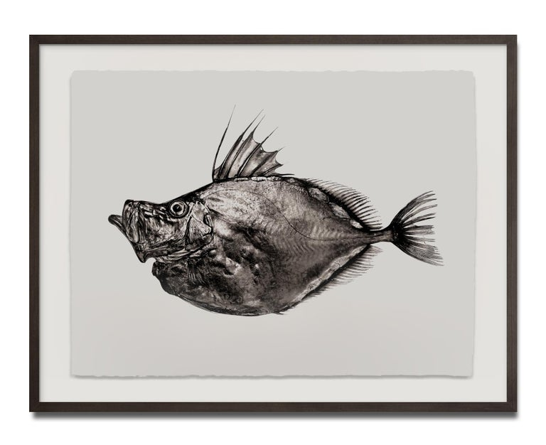 Zeus Faber, Platinum Iridium Print, Photography, Contemporary - Gray Still-Life Photograph by Jan C. Schlegel