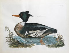 Red Breasted Merganser from Illustrations of British Ornithology Pl.58 by Selby