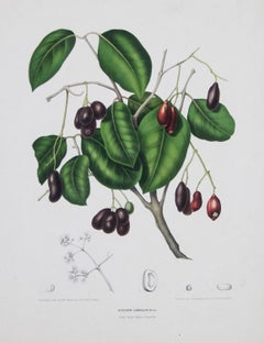 Sizgium Jambolanum  (  black plum ) 'Fleurs, fruits.....  by Hoola van Nooten