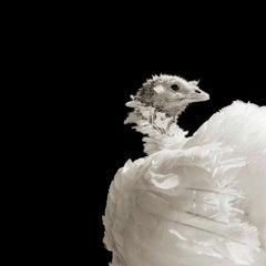 Ash, Broad Breasted White Turkey, Age 8, I