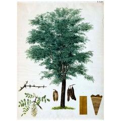 Acacia, Rare Vintage Wall Chart