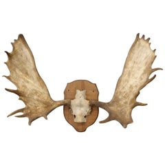 Adirondack Cottage or Cabin Mounted Moose Antlers