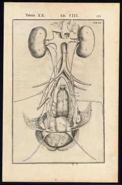 2 anatomical prints - Female organs by Spigelius - Engraving - 17th century