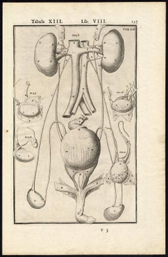 2 anatomical prints - Male organs and penis by Spigelius - Engraving - 17th c.