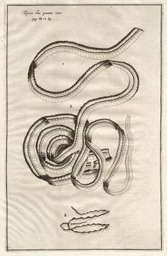 2 Anatomical prints - tapeworms - by Spigelius - Engraving - 17th c