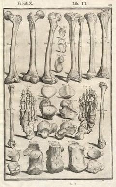 Anatomical print - bones of legs, feet, etc. - by Spigelius - Engraving - 17th c
