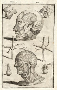 Anatomical print - human head muscles - by Spigelius - Engraving - 17th c