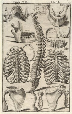Anatomical print - lower jaw, spine, etc - by Spigelius - Engraving - 17th c.