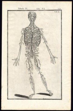 Anatomical print - Veins and arteries by Spigelius - Engraving - 17th century