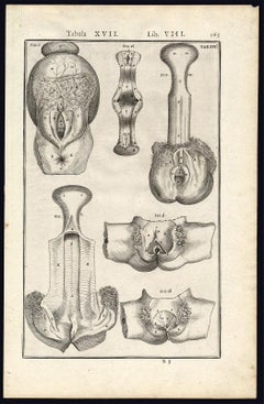 Rare anatomical print - Female abdomen by Spigelius - Engraving - 17th century