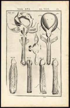 Rare anatomical print - Male penis by Spigelius - Engraving - 17th century