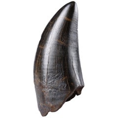 Adult T. Rex Rex Tooth - Tyrannosaurus Fossil