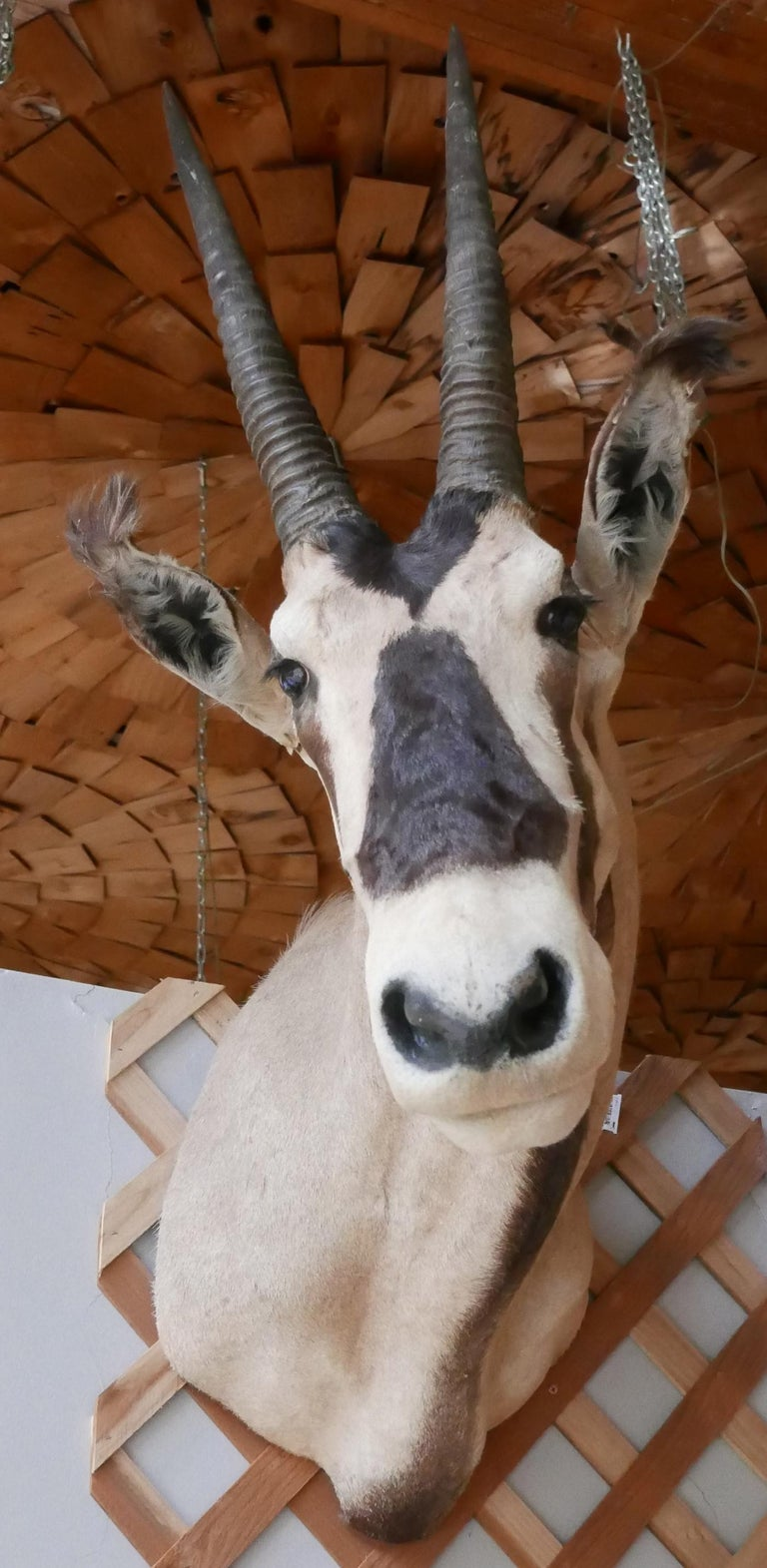 African Oryx / Gemsbok Shoulder Mount Taxidermy Trophy For Sale 6