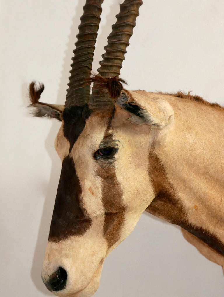 Animal Skin African Oryx / Gemsbok Shoulder Mount Taxidermy Trophy For Sale