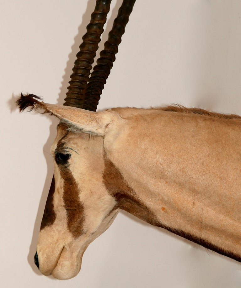 African Oryx / Gemsbok Shoulder Mount Taxidermy Trophy For Sale 1