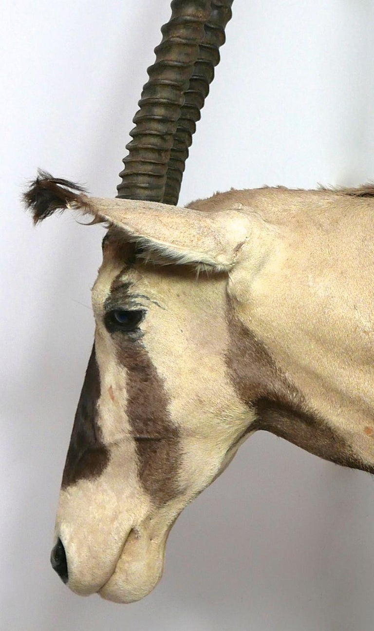 African Oryx / Gemsbok Shoulder Mount Taxidermy Trophy For Sale 3
