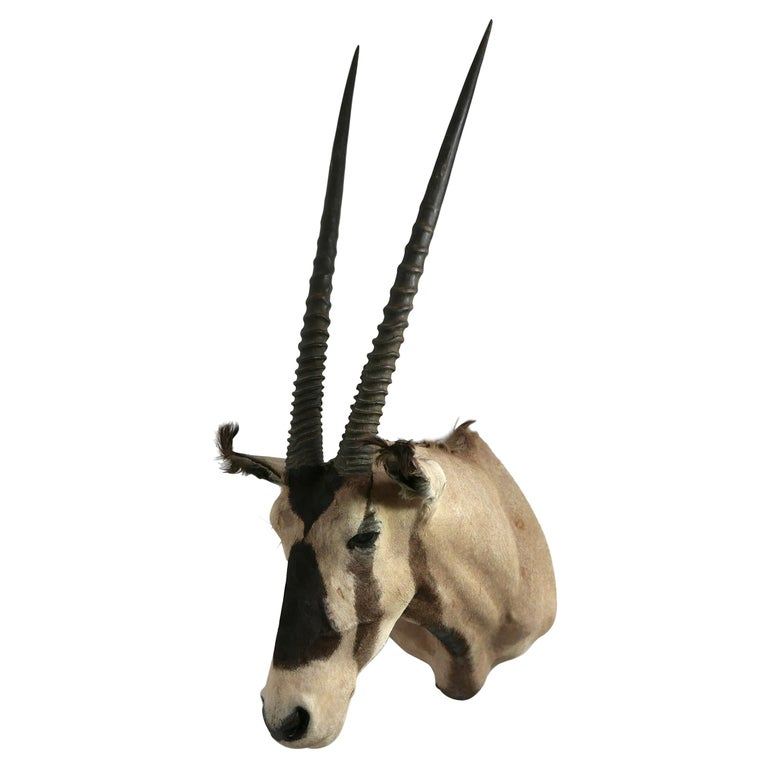 African Oryx / Gemsbok Shoulder Mount Taxidermy Trophy For Sale